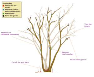 illustration of Crepe tree showing proper pruning technique