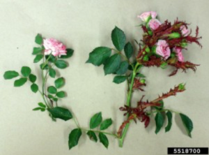 healthy rose on the left, diseased rose on the right