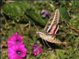 Cover photo for Hummingbird Moths: A Gardeners Dilemma